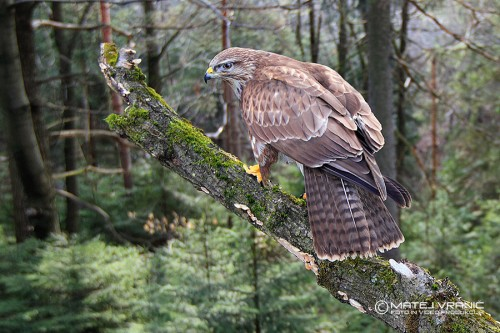 kanja - common buzzard